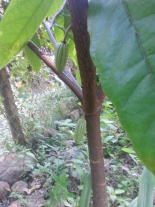 Extreme excitement! What's it all about? Chocolate of course - well, cacao pods, our very first! This cacao bush has been in the ground for about 2 years, and is finally starting to bear.