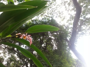 The Shell Ginger is blooming again, so pretty.
